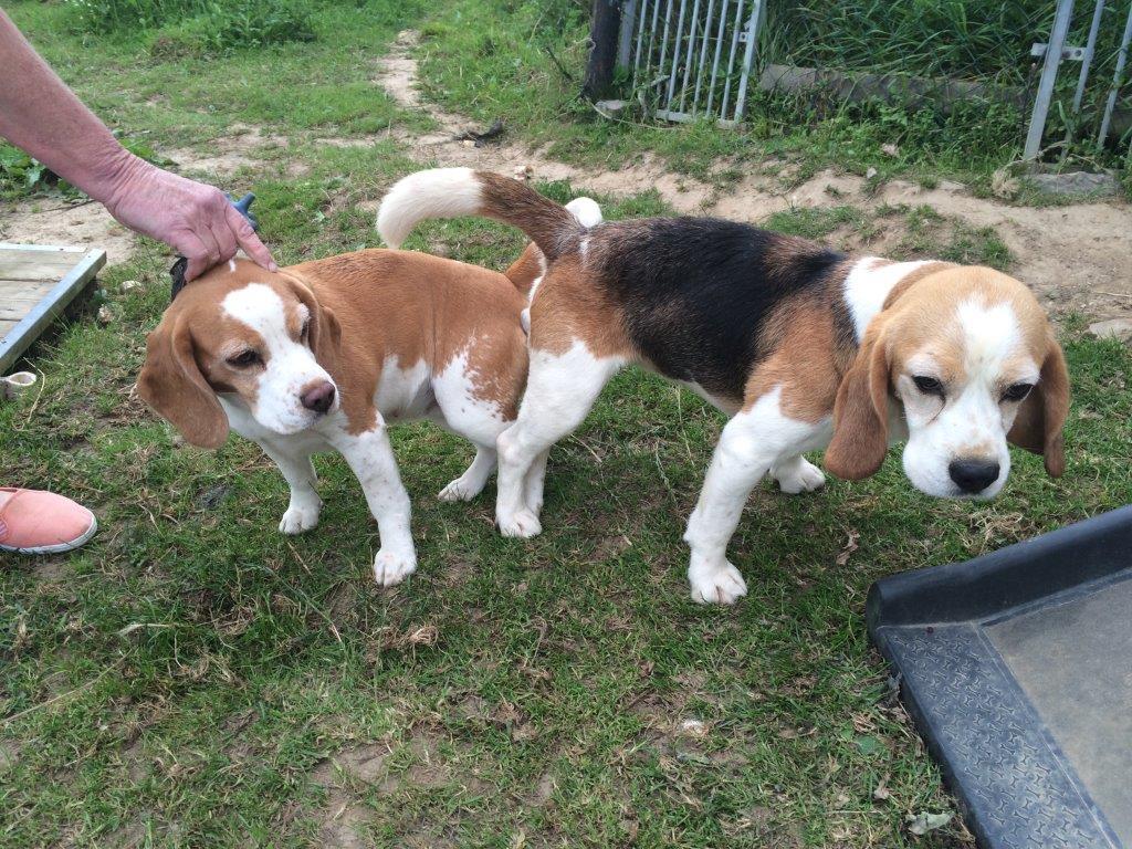 Beagle Deckakt Donna und Brain 2016
