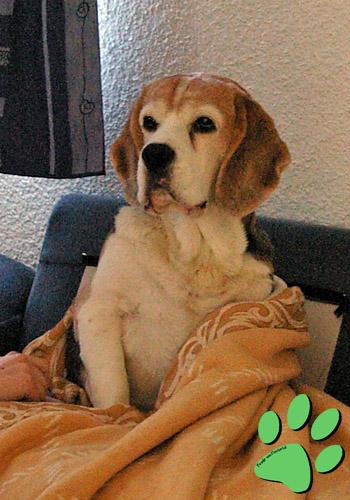 beagle vom deistertal beagles auf treibjagd in woltem bei soltau. Black Bedroom Furniture Sets. Home Design Ideas