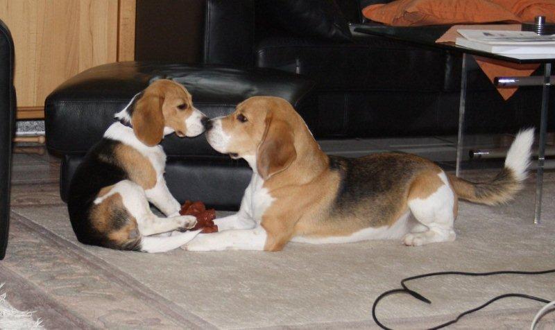 beagle vom deistertal z chter unter dem bcd vdh fci beaglewelpen. Black Bedroom Furniture Sets. Home Design Ideas