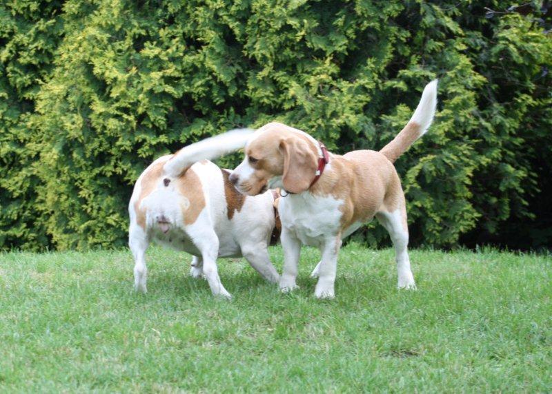 beagle vom deistertal neues von unseren beagles aus barsinghausen hannover. Black Bedroom Furniture Sets. Home Design Ideas