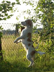 Beagle Yvi steht aufrecht