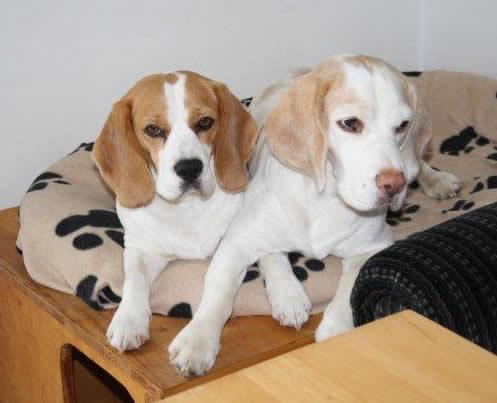 beagle vom deistertal beaglez chter vdh bcd beaglewelpen hannover hamburg bremen osnabr ck. Black Bedroom Furniture Sets. Home Design Ideas
